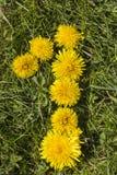 Numrera en som är utdragen med maskrosen på gräsmattan Arkivfoto