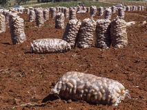 numret för bakgrundsfältblomning planterar vita potatispotatisar Arkivbilder