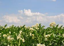numret för bakgrundsfältblomning planterar vita potatispotatisar arkivbild