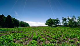 numret för bakgrundsfältblomning planterar vita potatispotatisar Fotografering för Bildbyråer
