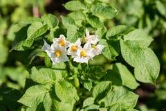 numret för bakgrundsfältblomning planterar vita potatispotatisar Potatisen blommar bland sidor Arkivbilder