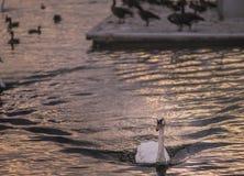 Nuotando al tramonto Fotografia Stock