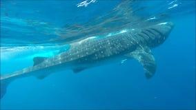 Nuotando con gli squali balena video d archivio