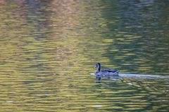 Nuotando nelle ondulazioni Fotografia Stock Libera da Diritti