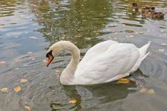 Nuotata bianca dei cigni su uno stagno artificiale Immagini Stock Libere da Diritti