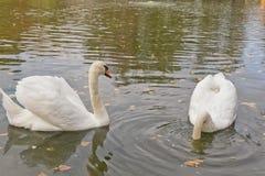 Nuotata bianca dei cigni su uno stagno artificiale Fotografie Stock Libere da Diritti