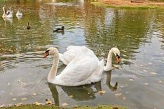 Nuotata bianca dei cigni su uno stagno artificiale Immagini Stock