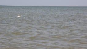 Nuotata caspica del gabbiano stock footage