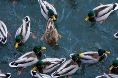 Nuotata degli uccelli dell'anatra in lago Fotografie Stock