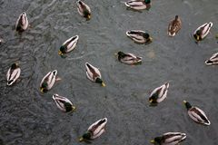 Nuotata degli uccelli dell'anatra in lago Fotografia Stock Libera da Diritti