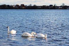 Nuotata dei cigni lungo il fiume fotografia stock