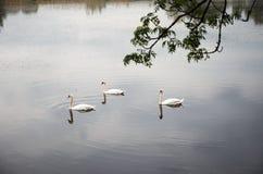 Nuotata dei cigni in uno stagno rurale Fotografia Stock Libera da Diritti