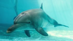 Nuotata dei delfini nel mare stock footage