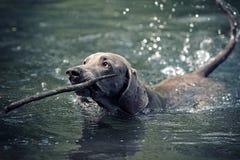 Nuotata del cane di Weimaraner Fotografia Stock