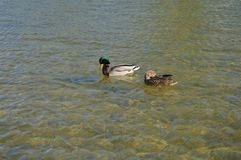 Nuotata del maschio e dell'anatra nel parco nella fontana immagine stock libera da diritti