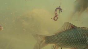 Nuotata del pesce nel lago vicino all'amo stock footage