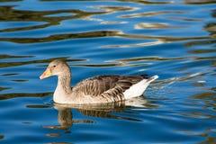 Nuotata dell'uccello dell'anatra in lago Immagini Stock Libere da Diritti