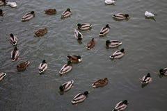 Nuotata dell'uccello dell'anatra in lago Fotografia Stock Libera da Diritti