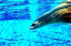 Nuotata della guarnizione nello stagno Immagine Stock Libera da Diritti