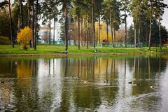 Nuotata delle anatre nel lago Fotografie Stock