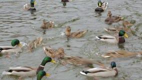 Nuotata delle anatre nello stagno stock footage
