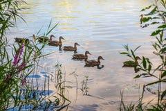 Nuotata delle anatre selvatiche lungo l'acqua Immagine Stock Libera da Diritti