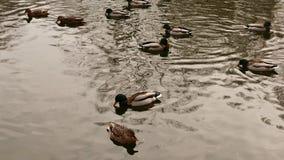 Nuotata delle anatre selvatiche nello stagno di inverno video d archivio