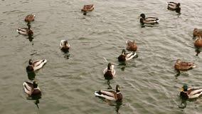 Nuotata delle anatre selvatiche nello stagno di inverno archivi video