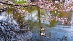 Nuotata delle coppie dell'anatra con il fiore di ciliegia Fotografia Stock