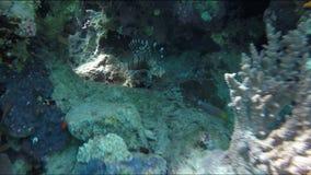Nuotata di corallo del lionfish del pesce intorno alla barriera corallina archivi video