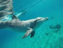 Nuotata di Dolphine nel mare colto di Israele fotografia stock