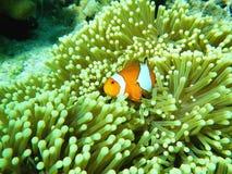 Nuotata di Nemo Anemonefish intorno al mare delle Andamane di corallo Tailandia subacquea Fotografia Stock Libera da Diritti
