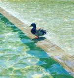 Nuotata di verde dell'acqua dell'anatra Immagini Stock