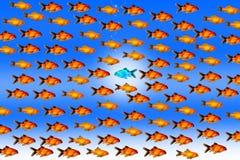 Nuotata dorata del pesce contro la corrente fotografie stock libere da diritti