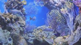 Nuotata esotica del pesce nell'acquario stock footage