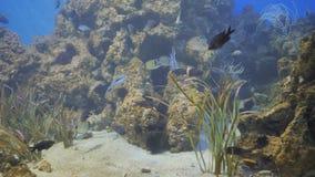 Nuotata esotica del pesce nell'acquario archivi video
