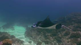 Nuotata gigante di Ray di Mantas nella ricerca blu del mare di alimento archivi video