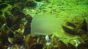 Nuotata predatore di Beroe della gelatina di pettine nella colonna di acqua, girando, colpo medio video d archivio