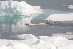 Nuotata selvaggia dell'orso polare Fotografia Stock