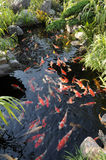 Nuotata variopinta delle carpe di koi Fotografie Stock Libere da Diritti