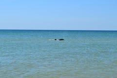 Nuotate del delfino Immagine Stock