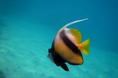Nuotate del pesce dello stendardo del Mar Rosso Fotografia Stock Libera da Diritti