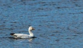 Nuotate delle oche polari da solo durante la migrazione di inverno Immagine Stock Libera da Diritti