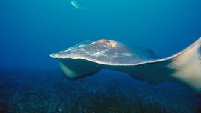 Nuotate di manta alfredi di una manta sopra un culmine oceanico nel parco nazionale di Komodo, Indonesia I Mantas sono trovati mo fotografia stock libera da diritti