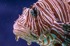Nuotate di pterois volitans del Lionfish fotografia stock libera da diritti