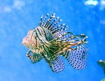 Nuotate di pterois volitans del Lionfish immagine stock libera da diritti