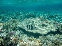 Nuotate di un sergente della forbici-coda fotografie stock libere da diritti