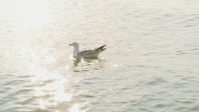Nuotate giganti del gabbiano nel mare nei raggi del tramonto video d archivio