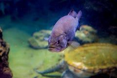 Nuoto acquatico del pesce fotografia stock