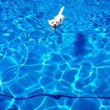 Nuoto ad ovest del terrier dell'altopiano in uno stagno fotografia stock libera da diritti